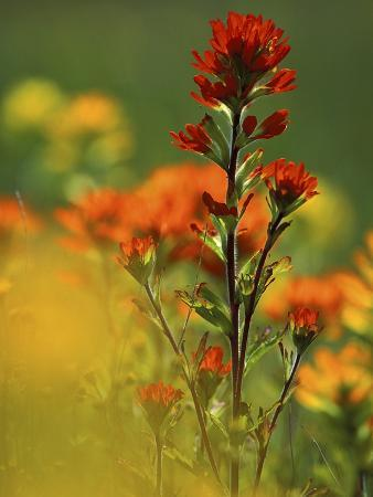 Red Indian Paintbrush Flower in Springtime, Nature Conservancy Property, Maxton Plains