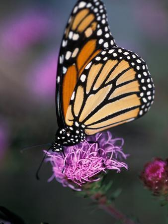 Monarch Butterfly on Northern Blazing Star Flower, New Hampshire, USA
