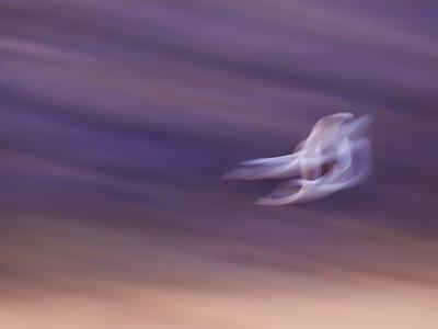Abstract of Two Snow Geese in Flight, Bosque Del Apache National Wildlife Reserve, New Mexico, USA