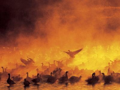 Flock of Snow Geese in Ground Fog, Bosque Del Apache National Wildlife Reserve, New Mexico, USA