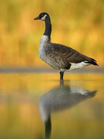 Portrait of Canada Goose Standing in Water, Queens, New York City, New York, USA