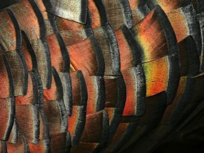 Wild Turkey Feather Close-up, Las Colmenas Ranch, Hidalgo County, Texas, USA