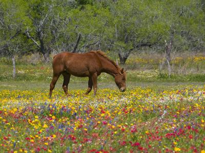 Quarter Horse in Wildflower Field Near Cuero, Texas, USA