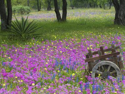Wooden Cart in Field of Phlox, Blue Bonnets, and Oak Trees, Near Devine, Texas, USA
