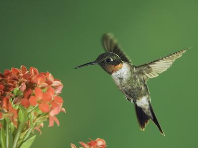 Ruby-Throated Hummingbird in Flight Feeding on Kalanchoe Flower, New Braunfels, Texas, USA