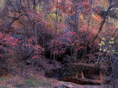 Fall Color in Zion National Park, Utah, USA