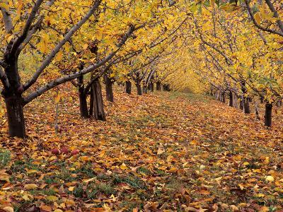 Apple Orchard in Autumn, Oroville, Washington, USA