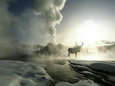 Sunrise Silhouette of Elk at Castle Geyser, Yellowstone National Park, Wyoming, USA
