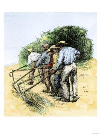 African American Field Hands Hooking Up Sugar Cane in Louisiana, c.1800