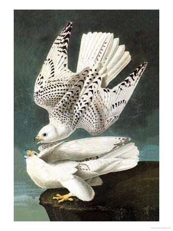 White Gyrfalcon