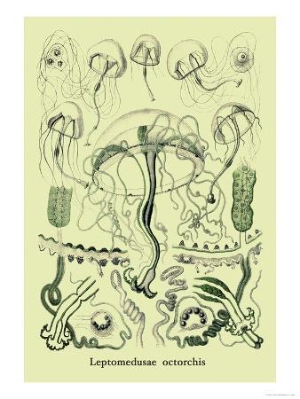 Jellyfish: Leptomedusae Octorchis