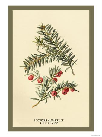 Flowers and Fruit of the Yew