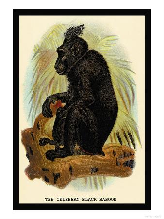 The Celebean Black Baboon