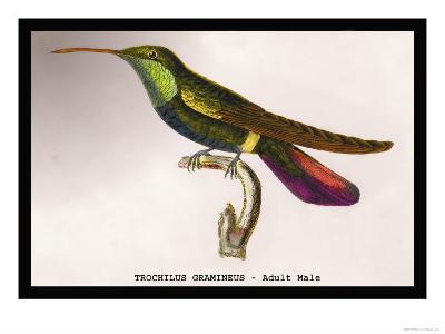 Hummingbird: Trochilus Gramineus
