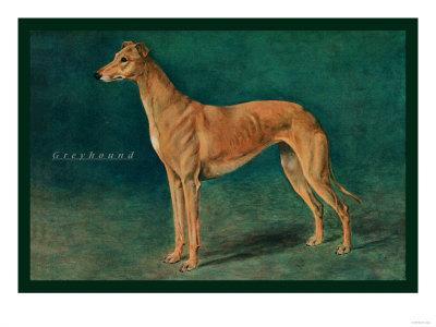 Coursing Greyhound
