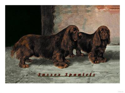 Two Champion Sussex Spaniels