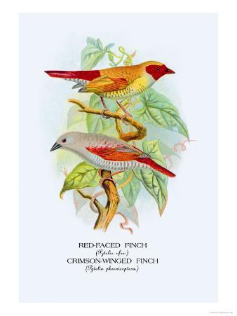 Red-Faced Finch, Crimson-Winged Finch