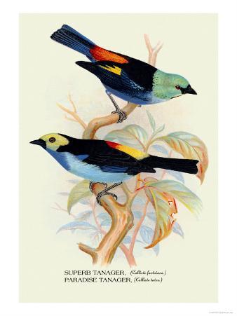 Superb Tanager, Paradise Tanager