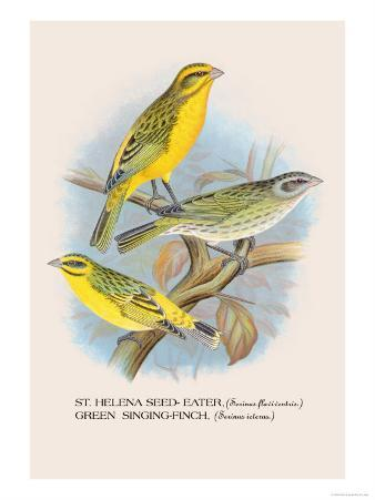 St. Helena Seed-Eater, Green Singing-Finch