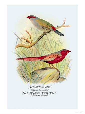Sydney Waxbill, Australian Fire-Finch