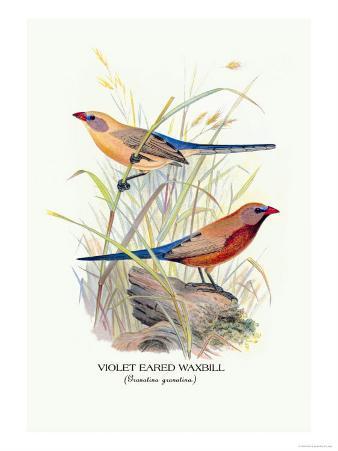 Violet Eared Waxbill