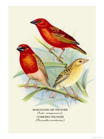 Madagascar Weaver, Comoro Weaver