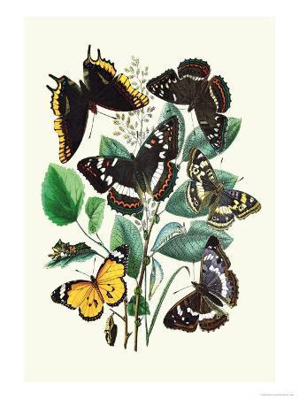 Butterflies: L. Populi, A. Iris