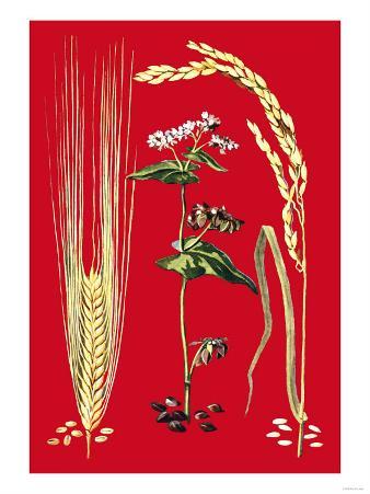 Grains: Barley, Buckwheat, and Rice