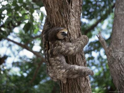 A Sloth Bear in a Tree, Venezuela, South America