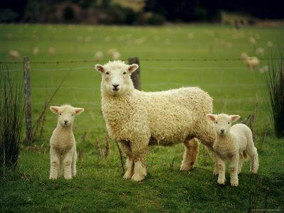 Ewe and Twin Lambs on Sheep Farm, Marlborough, South Island, New Zealand