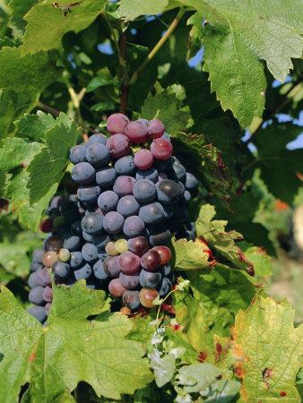 Grapes Ripe for Picking, Vaucluse Region, Provence, France, Europe