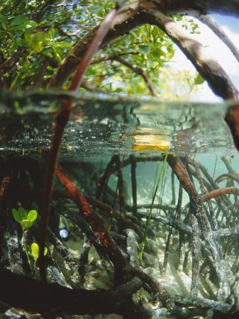 Mangrove Roots, Seychelles, Indian Ocean