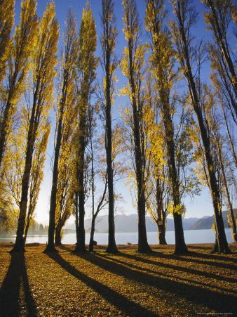 Autumnal Trees by Lake Wanaka, Otago, South Island, New Zealand