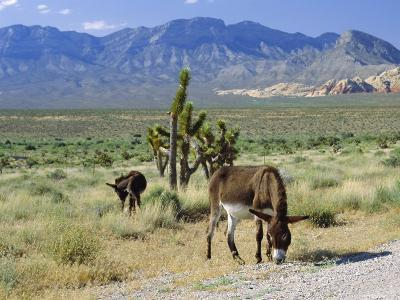 Wild Mules, the Spring Mountains, Nevada, USA