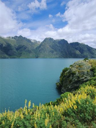 Yellow Lupins Beside Lake Wakatipu, Canterbury, South Island, New Zealand