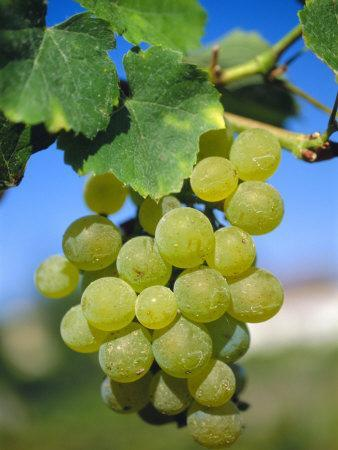 Bunch of Grapes, Champagne, France