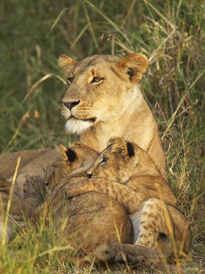 Lioness With Two Cubs Panthera Leo Masai Mara Game