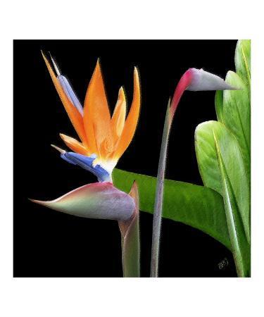 Bird of Paradise - Royal Beauty II