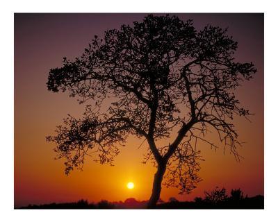 Sunrise and Oak