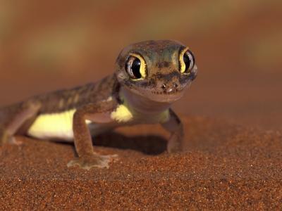 Web-footed Gecko, Namib National Park, Namibia