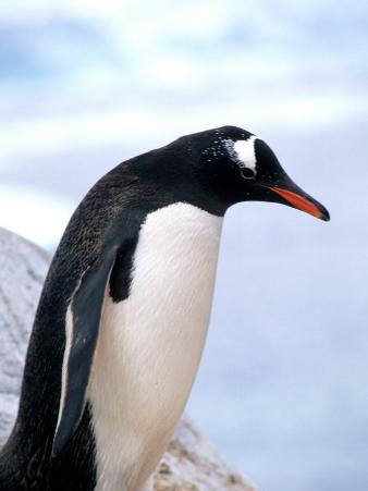 Gentoo Penguin on Ledge in Antarctic Peninsula