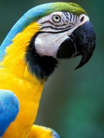 Blue and Yellow Macaw, Iguacu National Park, Brazil