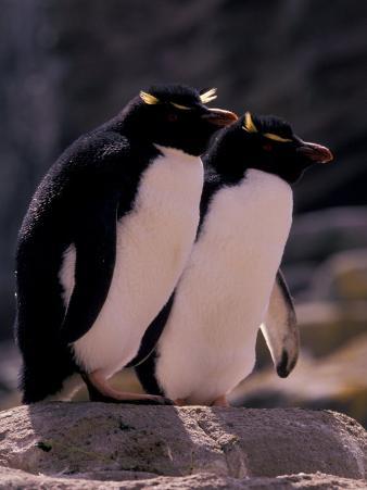 Rockhopper Penguin Pair, Falkland Islands