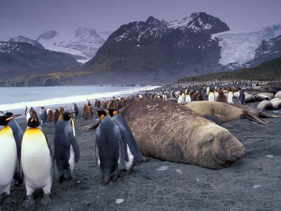 Elephant Seal and King Penguins, South Georgia Island, Antarctica