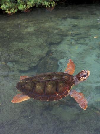 Green Sea Turtle, Bocas del Toro Islands, Panama