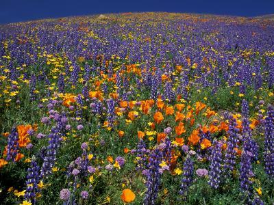 Poppies and Lupine, Los Angeles County, California, USA