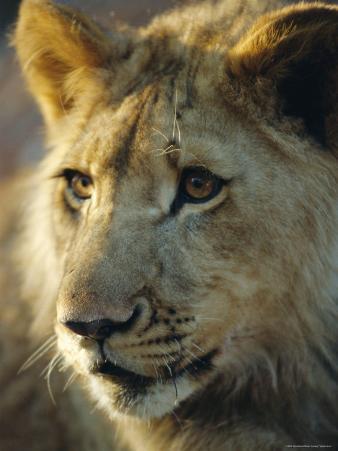 Lion Cub, Lion Park Resort, Gueru, Zimbabwe