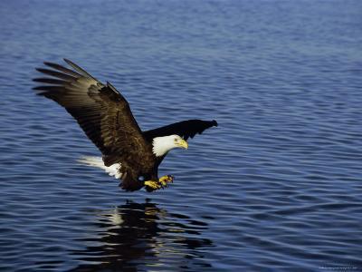 Bald Eagle (Haliaetus Leucocephalus) in February, Alaska, USA
