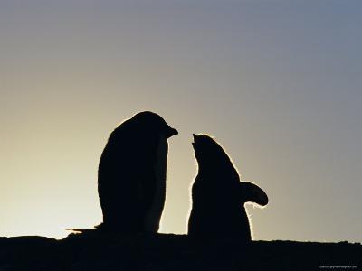 Silhouette of Adelie Penguin and Chick, Antarctica, Polar Regions