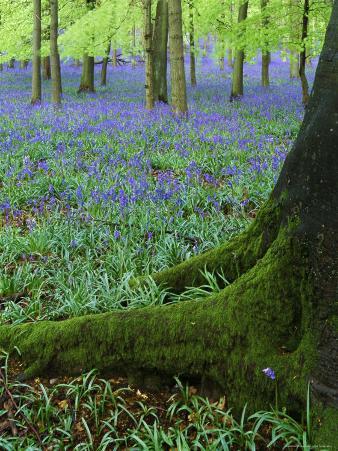 Bluebells in Beech Woodland, Buckinghamshire, England, UK, Europe